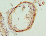 HMGCL Antibody - Immunohistochemistry of paraffin-embedded human testis tissue at dilution 1:100