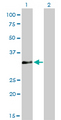 Western Blot analysis of HOXC4 expression in transfected 293T cell line by HOXC4 monoclonal antibody (M01), clone 1E9.Lane 1: HOXC4 transfected lysate(29.8 KDa).Lane 2: Non-transfected lysate.