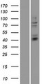 HS3ST3B1 Protein - Western validation with an anti-DDK antibody * L: Control HEK293 lysate R: Over-expression lysate