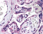 Staining of placental villi.  This image was taken for the unconjugated form of this product. Other forms have not been tested.