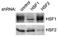 Western blot analysis (K562 cells) transiently transfected with control, HSF1 or HSF2 shRNA constructs using HSF1, HSF2 (3E2) antibodies.