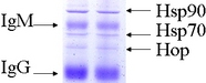 HSP90 / Heat Shock Protein 90 Antibody - Hsp90 complex (8D3) isolation; IP (rabbit reticulocyte lysate) SDS-PAGE Coomassie.  This image was taken for the unconjugated form of this product. Other forms have not been tested.