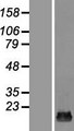 HSPC176 / TRAPPC2L Protein - Western validation with an anti-DDK antibody * L: Control HEK293 lysate R: Over-expression lysate