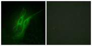 HTR4 / 5-HT4 Receptor Antibody - Immunofluorescence analysis of HeLa cells, using 5-HT-4 Antibody. The picture on the right is blocked with the synthesized peptide.