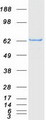 Purified recombinant protein ACSM5 was analyzed by SDS-PAGE gel and Coomassie Blue Staining