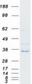 AD037 / RASSF4 Protein - Purified recombinant protein RASSF4 was analyzed by SDS-PAGE gel and Coomassie Blue Staining