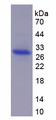 ADAM17 / TACE Protein - Recombinant A Disintegrin And Metalloprotease 17 By SDS-PAGE