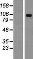 ADAMTS15 Protein - Western validation with an anti-DDK antibody * L: Control HEK293 lysate R: Over-expression lysate