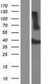 ADAT3 Protein - Western validation with an anti-DDK antibody * L: Control HEK293 lysate R: Over-expression lysate