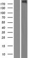 ADGB Protein - Western validation with an anti-DDK antibody * L: Control HEK293 lysate R: Over-expression lysate