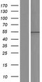 AGFG1 Protein - Western validation with an anti-DDK antibody * L: Control HEK293 lysate R: Over-expression lysate