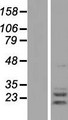 AGPAT2 Protein - Western validation with an anti-DDK antibody * L: Control HEK293 lysate R: Over-expression lysate