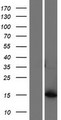 AKR1C8P / AKR1CL1 Protein - Western validation with an anti-DDK antibody * L: Control HEK293 lysate R: Over-expression lysate