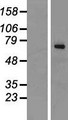 ALG9 Protein - Western validation with an anti-DDK antibody * L: Control HEK293 lysate R: Over-expression lysate