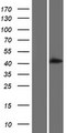 ALLC Protein - Western validation with an anti-DDK antibody * L: Control HEK293 lysate R: Over-expression lysate