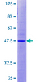 ANAPC10 / APC10 Protein - 12.5% SDS-PAGE of human ANAPC10 stained with Coomassie Blue