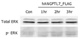 ERK phosphorylation induced by hANGPTL7 in THP-1 cells. THP-1 monocyte cells were serum starved for 16 hours and then stimulated with ANGPTL7 (human) (rec.) (500ng/ml) for 1, 2 and 3 hours, respectively. Antibodies against pERK1/2 and total ERK1/2 were used for immunoblotting.