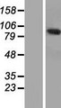 ANKEF1 / ANKRD5 Protein - Western validation with an anti-DDK antibody * L: Control HEK293 lysate R: Over-expression lysate