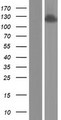 ANKFY1 Protein - Western validation with an anti-DDK antibody * L: Control HEK293 lysate R: Over-expression lysate