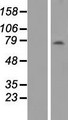 ANKRD13B Protein - Western validation with an anti-DDK antibody * L: Control HEK293 lysate R: Over-expression lysate