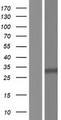 ANKRD18A Protein - Western validation with an anti-DDK antibody * L: Control HEK293 lysate R: Over-expression lysate