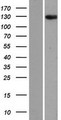 ANKRD28 Protein - Western validation with an anti-DDK antibody * L: Control HEK293 lysate R: Over-expression lysate