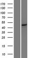ANKRD33 Protein - Western validation with an anti-DDK antibody * L: Control HEK293 lysate R: Over-expression lysate