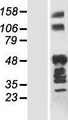 ANKRD40 Protein - Western validation with an anti-DDK antibody * L: Control HEK293 lysate R: Over-expression lysate