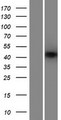 ANKRD42 Protein - Western validation with an anti-DDK antibody * L: Control HEK293 lysate R: Over-expression lysate