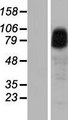 ANKRD6 / Diversin Protein - Western validation with an anti-DDK antibody * L: Control HEK293 lysate R: Over-expression lysate