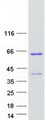 Purified recombinant protein ANKS4B was analyzed by SDS-PAGE gel and Coomassie Blue Staining