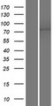 ANO10 / TMEM16K Protein - Western validation with an anti-DDK antibody * L: Control HEK293 lysate R: Over-expression lysate