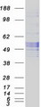 Purified recombinant protein SERPINC1 was analyzed by SDS-PAGE gel and Coomassie Blue Staining