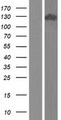 APBA2 Protein - Western validation with an anti-DDK antibody * L: Control HEK293 lysate R: Over-expression lysate