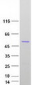 Purified recombinant protein ATG4B was analyzed by SDS-PAGE gel and Coomassie Blue Staining