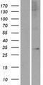 APOLD1 / Apolipoprotein L D1 Protein - Western validation with an anti-DDK antibody * L: Control HEK293 lysate R: Over-expression lysate