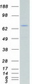 ARAF / ARAF1 / A-RAF Protein - Purified recombinant protein ARAF was analyzed by SDS-PAGE gel and Coomassie Blue Staining