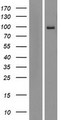 AREL1 / KIAA0317 Protein - Western validation with an anti-DDK antibody * L: Control HEK293 lysate R: Over-expression lysate