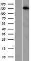 ARHGAP20 Protein - Western validation with an anti-DDK antibody * L: Control HEK293 lysate R: Over-expression lysate