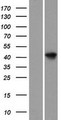 ARL6IP4 Protein - Western validation with an anti-DDK antibody * L: Control HEK293 lysate R: Over-expression lysate