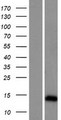 ARL9 Protein - Western validation with an anti-DDK antibody * L: Control HEK293 lysate R: Over-expression lysate