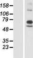 ARSI / Arylsulfatase I Protein - Western validation with an anti-DDK antibody * L: Control HEK293 lysate R: Over-expression lysate