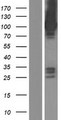 ASAP3 Protein - Western validation with an anti-DDK antibody * L: Control HEK293 lysate R: Over-expression lysate