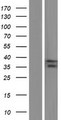 ASB1 Protein - Western validation with an anti-DDK antibody * L: Control HEK293 lysate R: Over-expression lysate