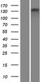 ATP8B4 Protein - Western validation with an anti-DDK antibody * L: Control HEK293 lysate R: Over-expression lysate