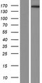 ATRNL1 Protein - Western validation with an anti-DDK antibody * L: Control HEK293 lysate R: Over-expression lysate