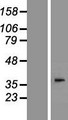AWAT2 / DGAT2L4 Protein - Western validation with an anti-DDK antibody * L: Control HEK293 lysate R: Over-expression lysate