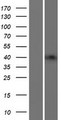 B3GNT4 Protein - Western validation with an anti-DDK antibody * L: Control HEK293 lysate R: Over-expression lysate