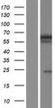 BANP Protein - Western validation with an anti-DDK antibody * L: Control HEK293 lysate R: Over-expression lysate