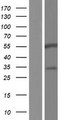 BARX2 Protein - Western validation with an anti-DDK antibody * L: Control HEK293 lysate R: Over-expression lysate